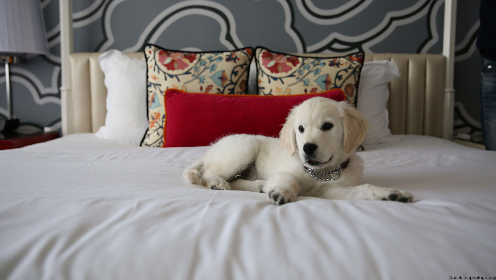 golden retriever puppy lounging on Hotel Monaco bed