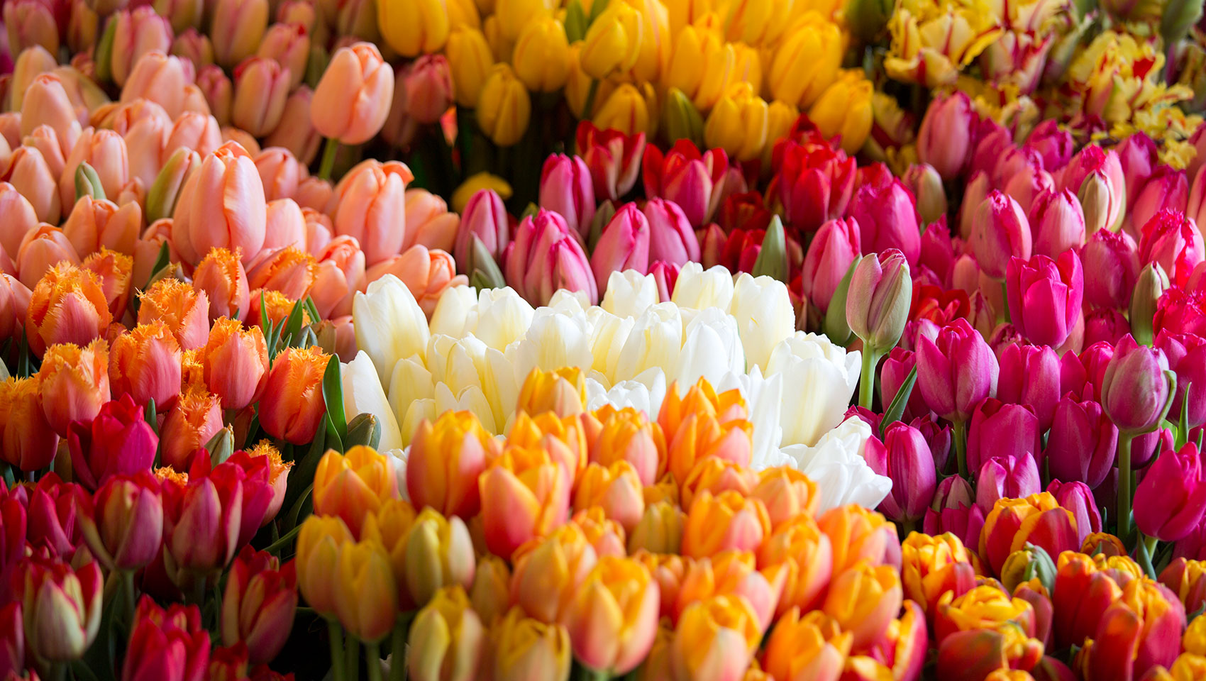 bushels of multicolored tulips from Pike Place Market
